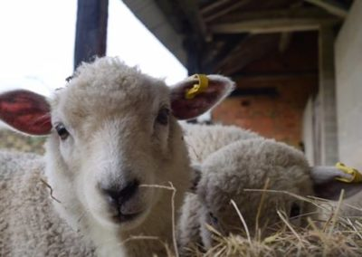 Lambs from the family smallholding